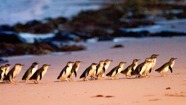 Fairy Penguins walking onto the beach on Phillip Island after a day at sea. The Phillip Island Penguin Parade.