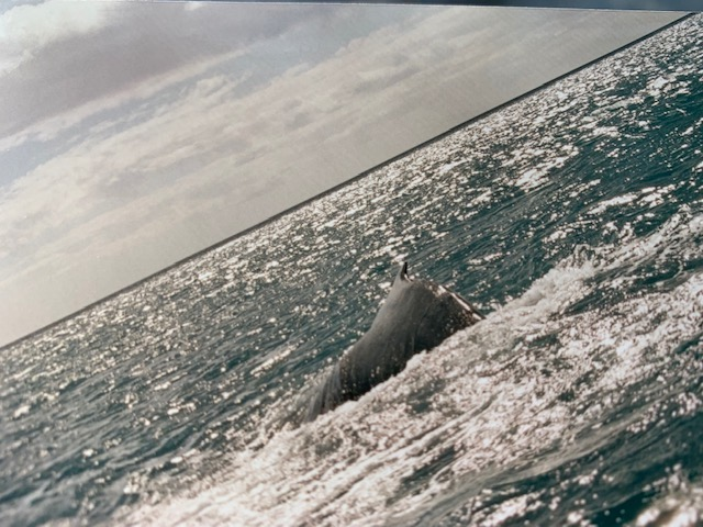 Humpback Whale surfacing in Hervey Bay.
