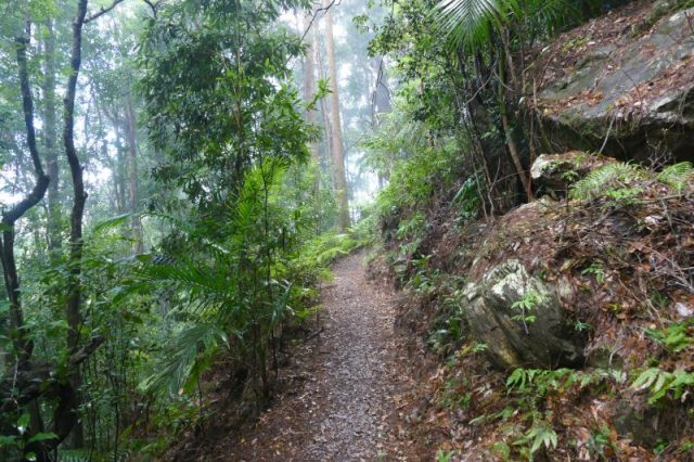 Warrie Circuit In Springbrook Queensland Is A Walk In A Tropical Rainforest. Walk Through A Tropical Rainforest With Ferns And Tall Trees With Many Birds.